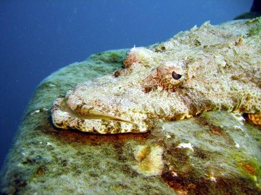 crocodilefish.jpg
